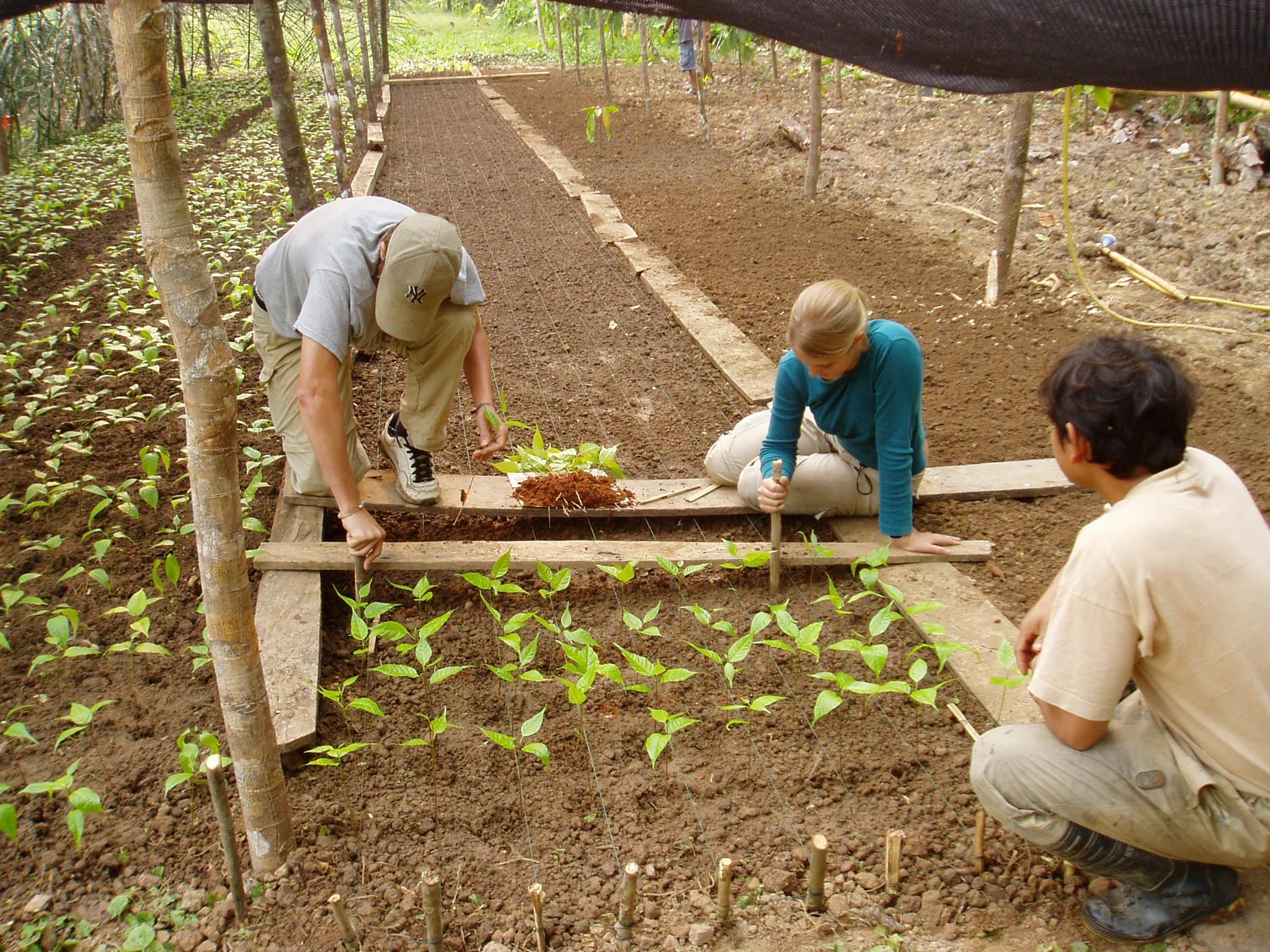 Projects Abroad volunteers are pictured planting new plants at a local nursery as part of their rainforest conservation work in Peru.